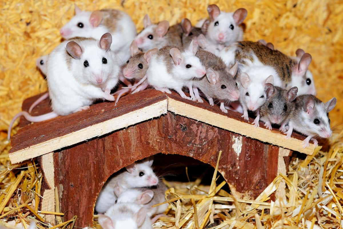 signs of house mice