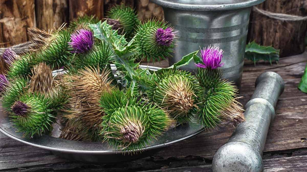 What Are the Health Benefits of Milk Thistle?