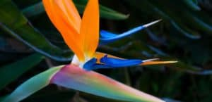 5 Fun Facts About the Bird of Paradise Plant
