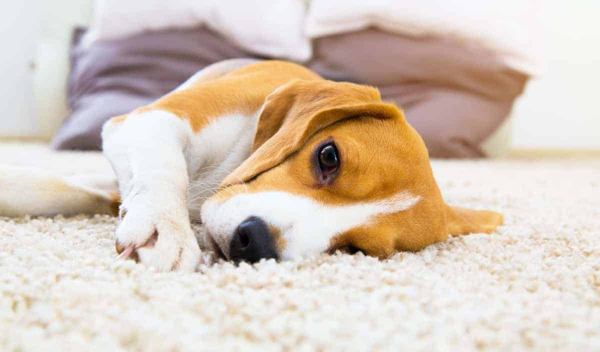 5 Tips on How to Settle a Dog's Stomach Without Visiting the Vet