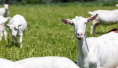 Keeping Dairy Goats: 5 Things You Need to Know